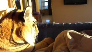 Duerme con un tigre