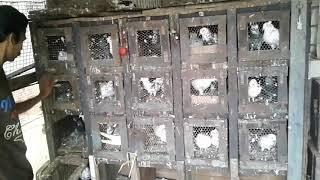 kabutar collection of parshram nhavi7338380128