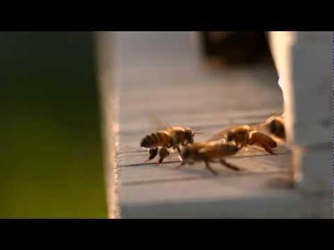 Dance Of The Honey Bee
