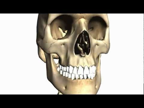Foramina of the Skull and Cranial Fossae - Anatomy Tutorial PART 1