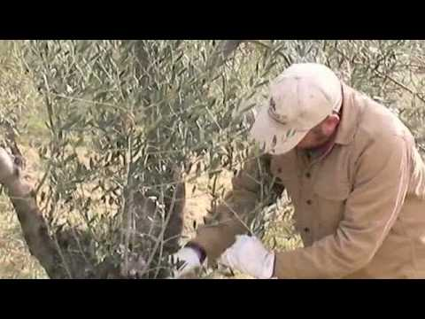Olive tree pruning 101 Music Videos