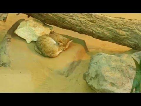 Arabian Sand Cat at Arabia's Wildlife Centre in Sharjah قط الرمال العربي في الشارقة