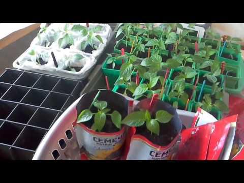 Правильное выращивание рассады капусты ботаничкаru