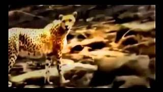 Lions Animal Planet 2017 Lion Attack, Kill and Hunting Buffalo Animasl Documentary