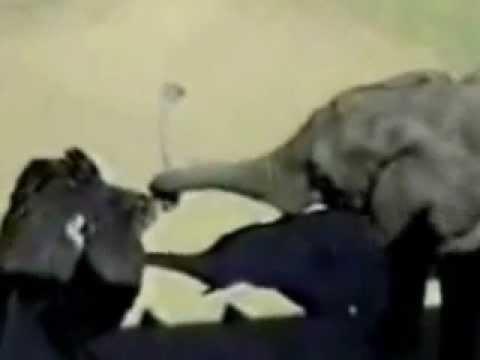 Слон наказал страуса » waboo.ru