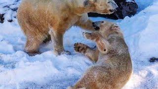 Suni kara kavuşan kutup ayıları böyle keyif yaptı