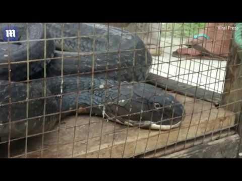 cuộc chiến rắn hổ mang dài 5met với con trăn