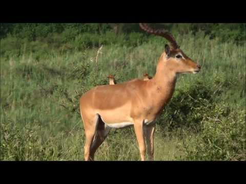 Impala African Antelope, in the Kruger National Park, South Africa