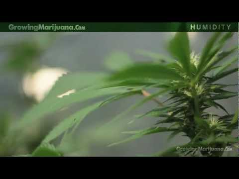 Humidity - Marijuana Growing Humidity Moisture - Growing Weed - 13