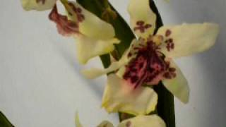 artificial flowers orchid oncidium