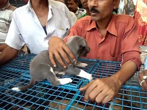 Exotic Pet Dog Market In Kolkata At Mirza Galiff Street video