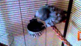 Naked African grey taking a shower