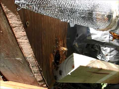 Polk City, Florida Honey Bee Trap-Out - 9-21-13 (Part I)