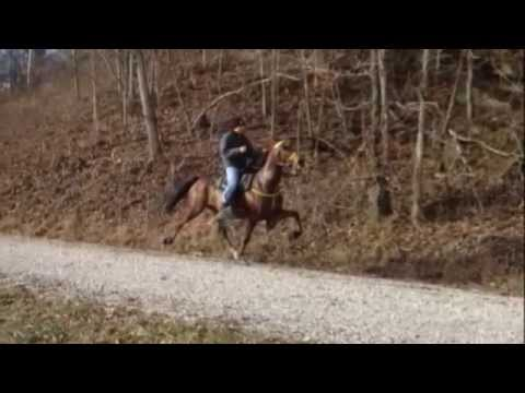American Beauty Speed Racking Horse