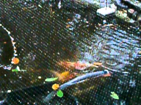 My koi loves salt for Koi fry pool