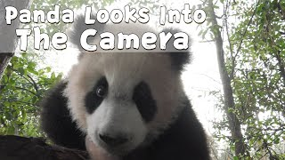 Jin Bao Looks Straight Into The Camera | iPanda