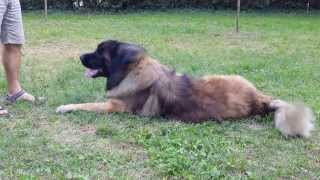happy leonberger tickling