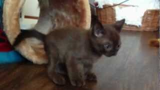 BurMau sable burmese kitten