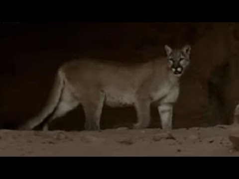 Mountain Lions & Saber Tooth Cat - Wild New World - BBC history