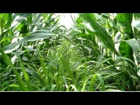 Clique e veja o vídeo Curso Formação de Pastagens com Braquiária em Consórcio com Milho