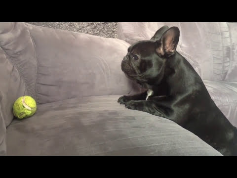 Blanky the French Bulldog Struggles to Get Tennis Ball