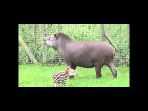 Lil' Ron the baby Brazilian tapir