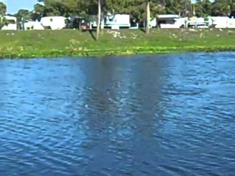 Manatees swimming in Okeechobee Fl