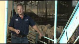 The truth about the live sheep export trade