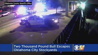 Two Thousand Pound Bull Escapes, Runs Loose Through Oklahoma City