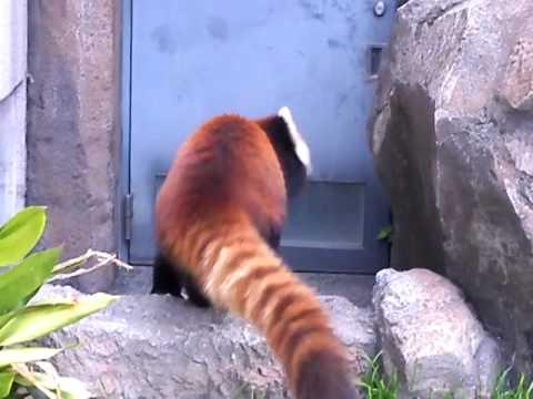 王子動物園のレッサーパンダ、ガイア君
