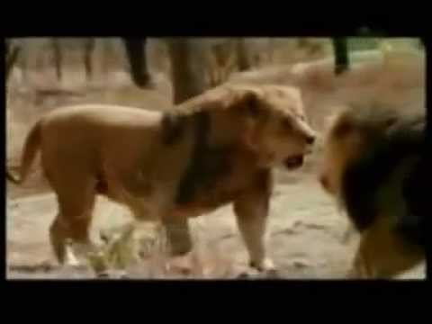 lion vs tiger 2013 fights