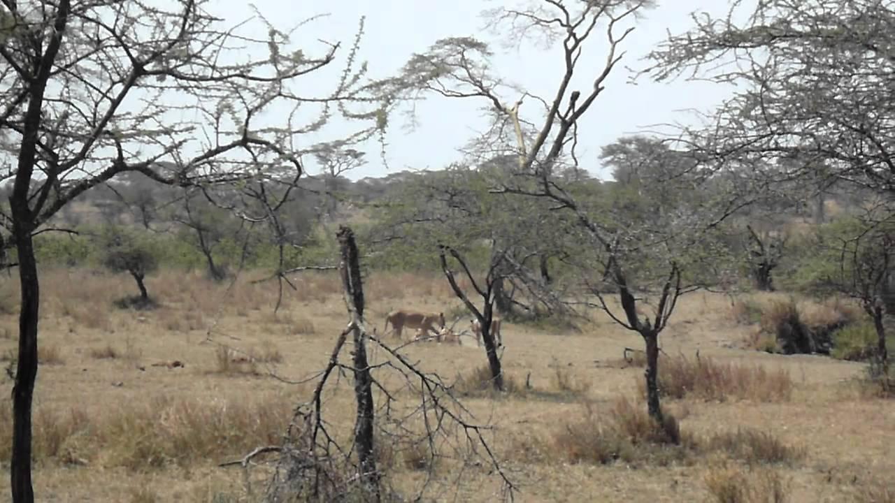 Lion Zebra Friends Lions Eating Zebra While Zebra