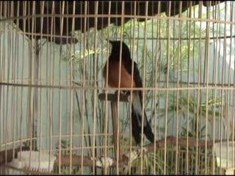 Murai Batu Bird Singing video