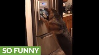 German Shepherd gets ice from the fridge!