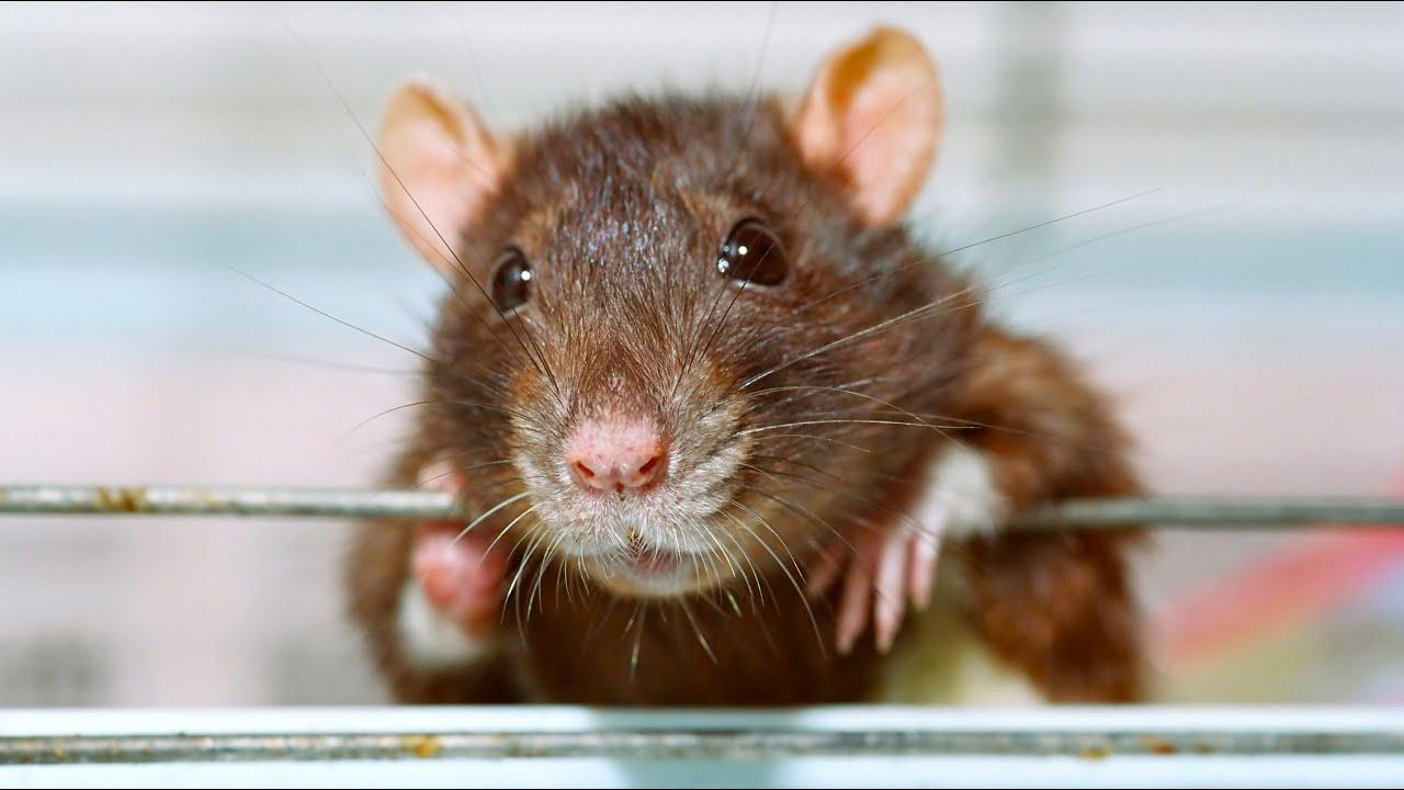 Домашние крысы условия содержания