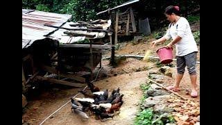 Hmoob lub neej toj siab ( Hmong Raise Chickens & pigs )
