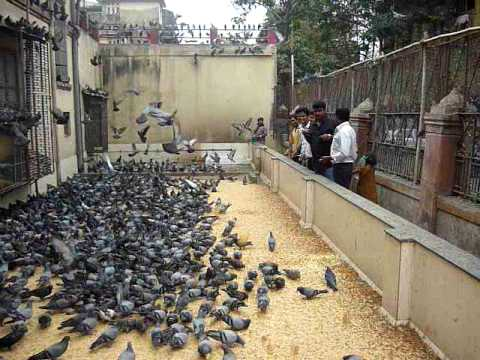 Pigeon Show @ Mumbai before Sumit's Wedding - Part 1 Music Videos