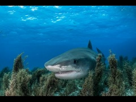 Drone Captures Shark Feeding Frenzy in Australia