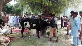 Eid ul Azha, 2016 - dangerous bull jumps