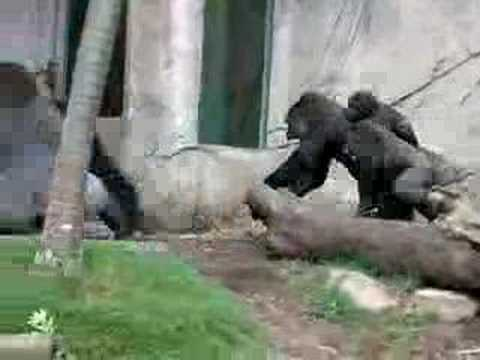 Apes going Ape! Video