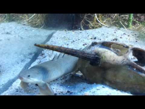 Meu aquario de carnivoros e primitivos.