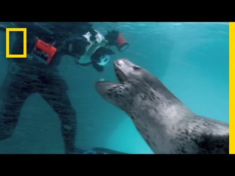 Thumb Paul Nicklen relata como una foca leopardo le trajo pinguinos para alimentarlo