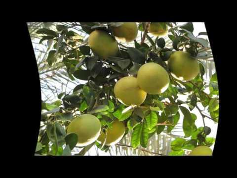 Грейпфрут в домашних условиях из семечка фото