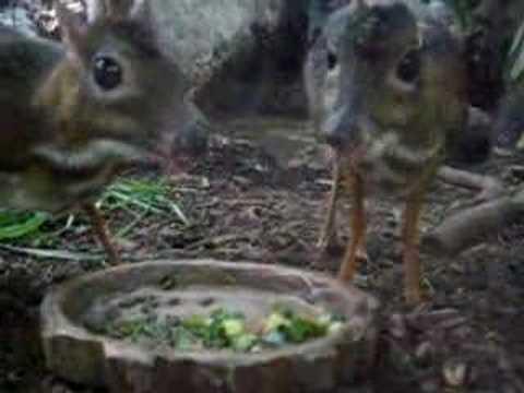 ジャワ豆鹿の御食事