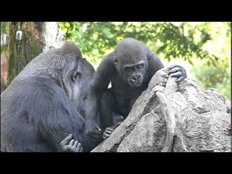 2011年5月18日の上野動物園のゴリラの母子。Mom and cute baby gorilla.