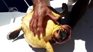 Rescate de tortuga en el Magic Deluxe .(Fuerteventura.)