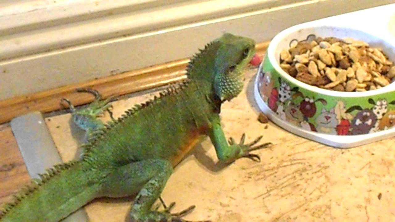 Chinese water dragon likes dog food youtube