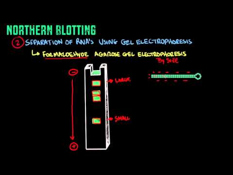 Northern Blotting - Biology Tutorial
