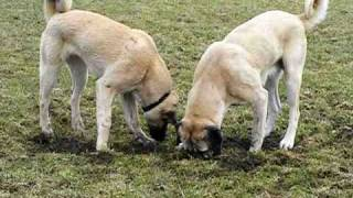 Kangal Familie Sivas guardian angels