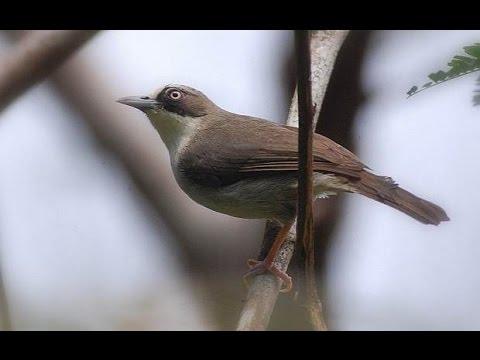 Suara Kicauan Burung Opior Flores untuk Pancingan Bunyi